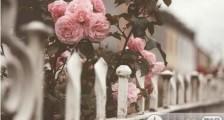 蓝玫瑰的故事 古风唯美句子
